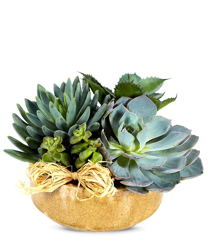 Succulent for same day delivery